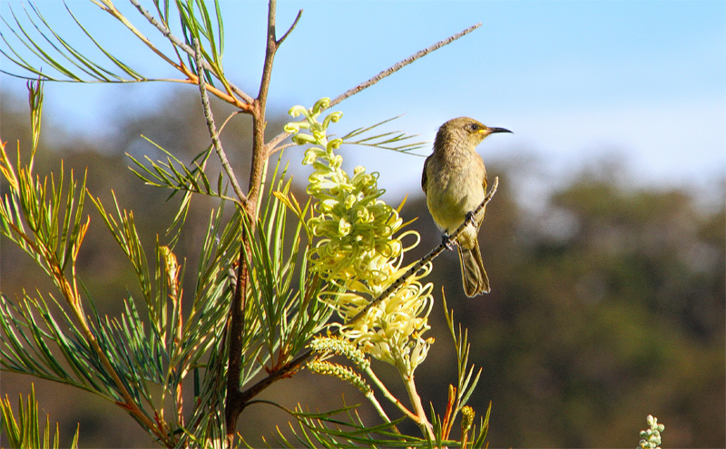 White-Gaped-Honeyeater